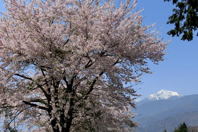 満開の桜と残雪の甲斐駒ケ岳