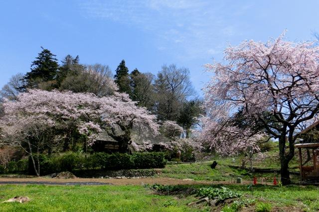 高森地区民家の桜