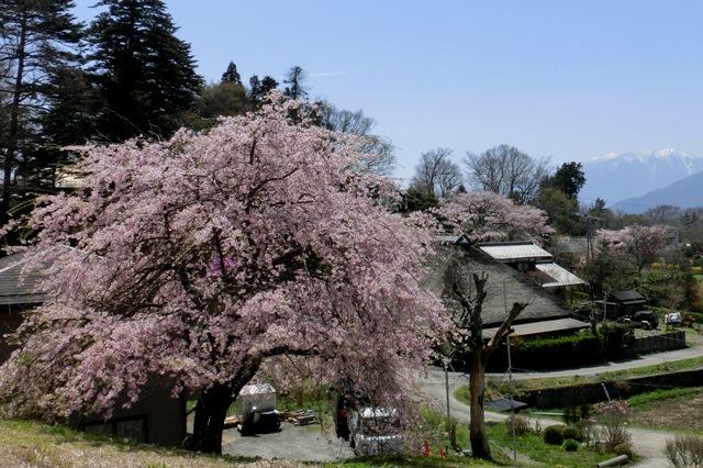 高森地区民家の枝垂れ桜