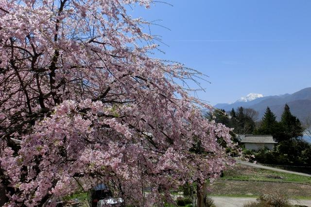 枝垂れ桜越しの甲斐駒ケ岳