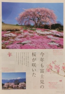 富士見町の桜特集