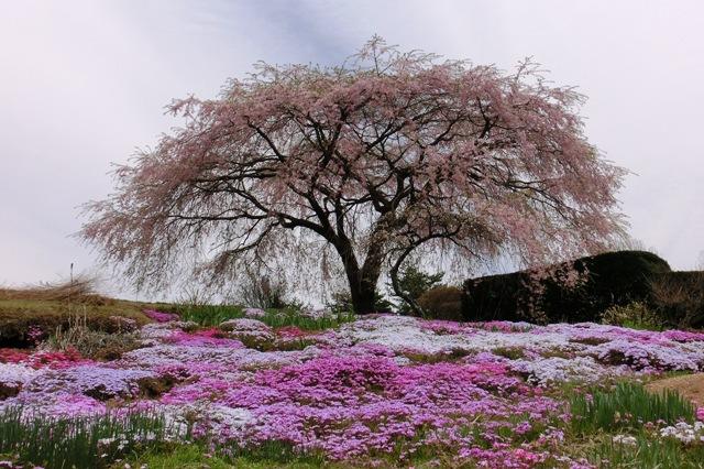 高森地区(民家の枝垂れ桜)