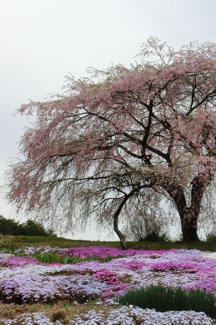高森地区(民家の枝垂れ桜と芝桜)