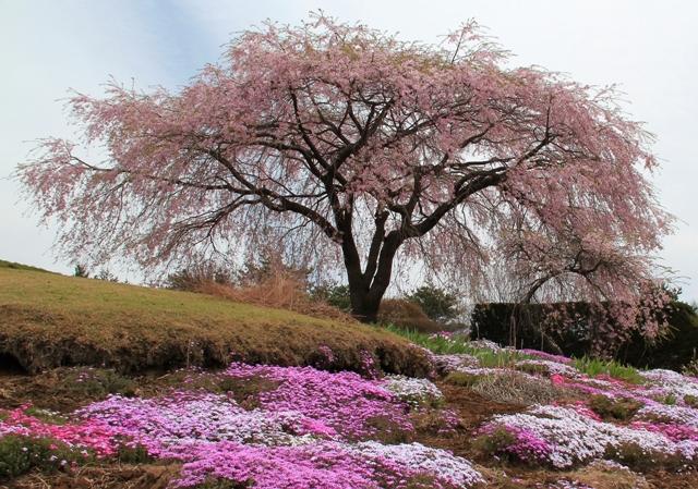 高森の民家の枝垂れ桜と芝桜