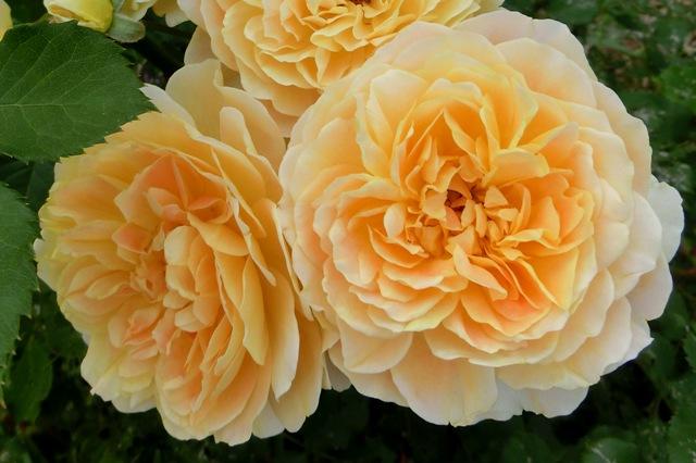 公園で見かけたオレンジ色のバラ