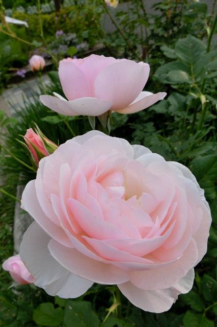 公園で見かけたピンクのバラ