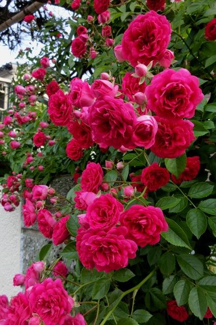 散歩の途中で見かけた真っ赤なバラ