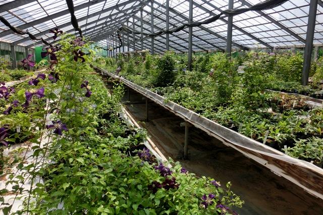 温室内の栽培風景