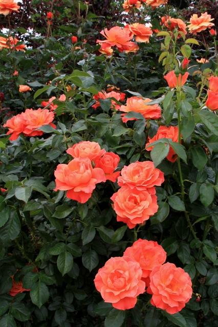 オレンジ色のフリルのあるバラ