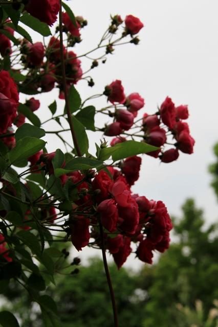 バラのある風景