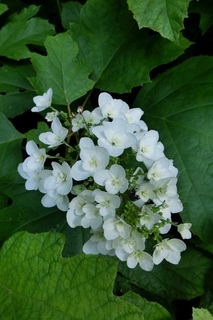 純白の柏葉アジサイ