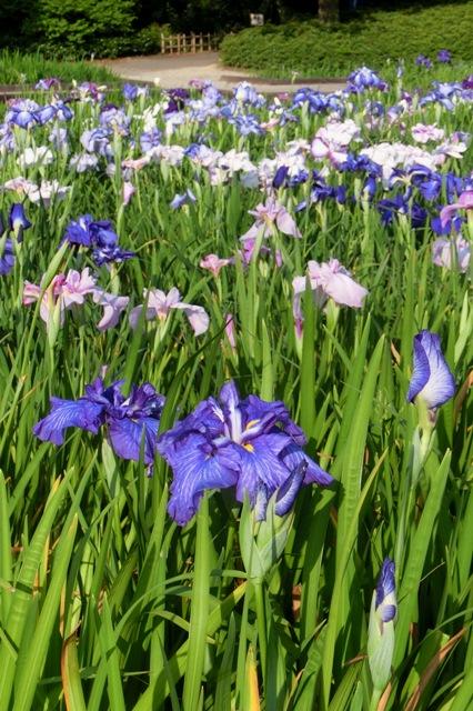 肥後系 紫鳳殿
