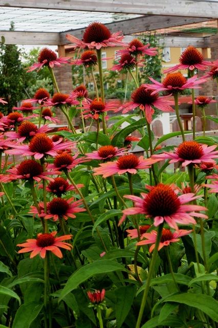 真夏の花エキナセア