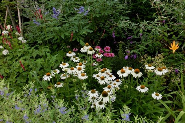 白花のエキナセアを使った花壇