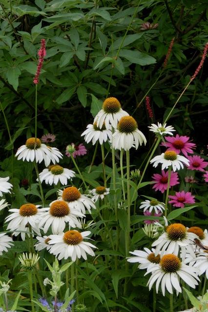 白花のエキナセア