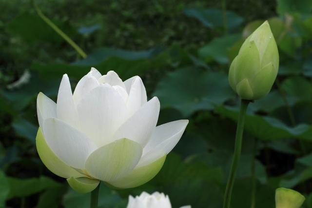 蓮の花(白花)
