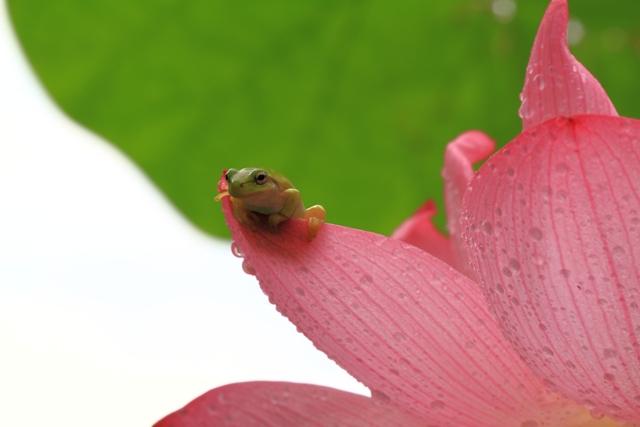 蓮の花びらにつかまる蛙