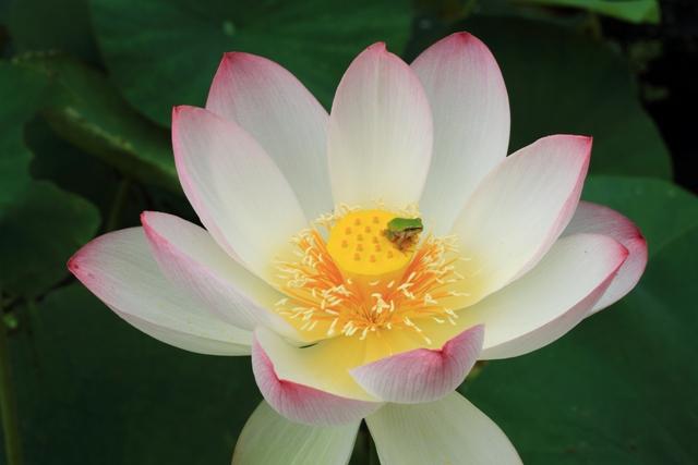 蓮の花冠に乗った蛙