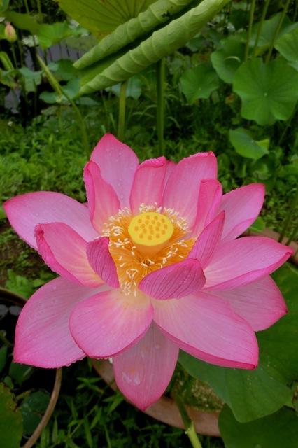 蓮の花(ピンク)