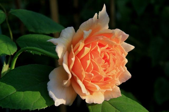 イングリッシュローズ グレイス(朝日に映える花)
