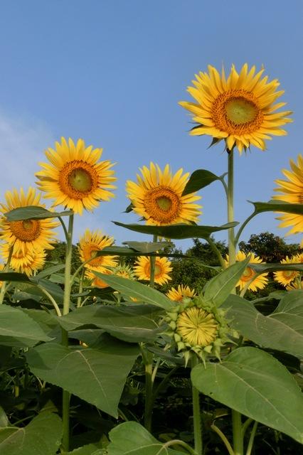 太陽に向かって咲くヒマワリ