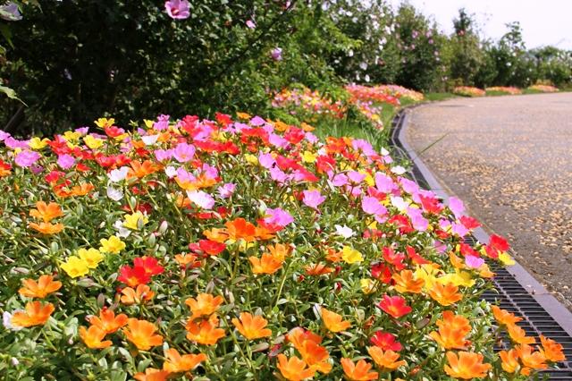 花菜ガーデンで見かけたポーチュラカ