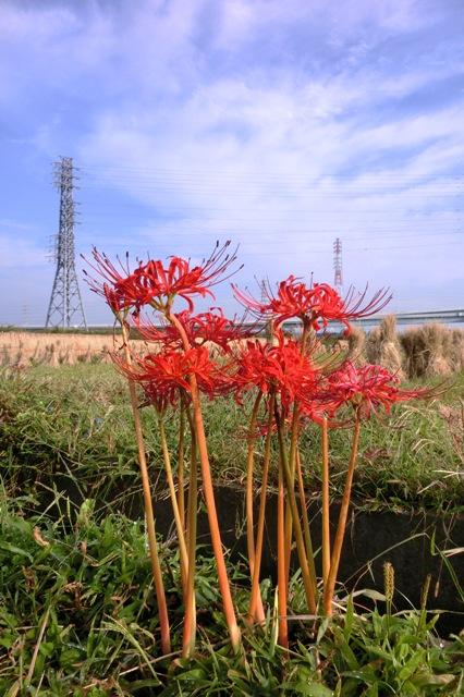 湘南タゲリ米の里に咲く彼岸花