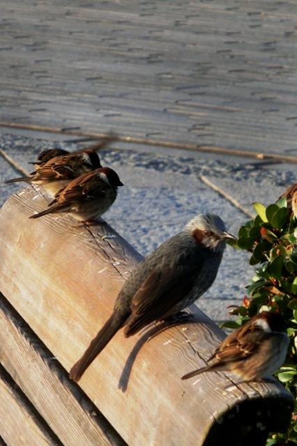 ベンチで日光浴をするすずめとヒヨドリ