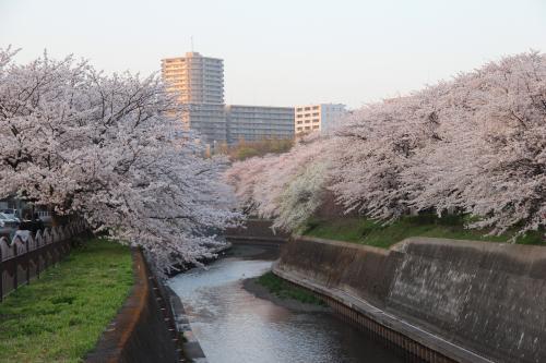 引地川の桜2