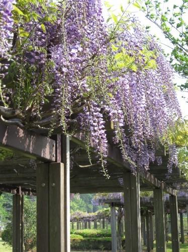 大庭親水公園の藤棚