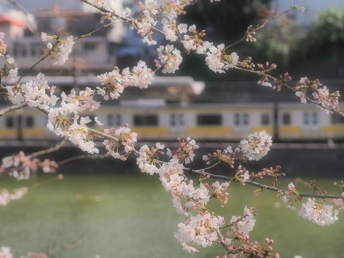 itigayasakura