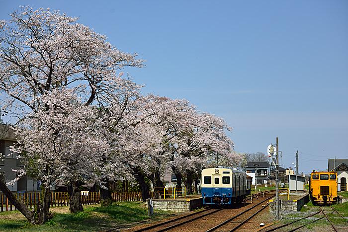 kurogosakura