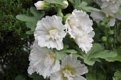 八重咲きタチアオイ2