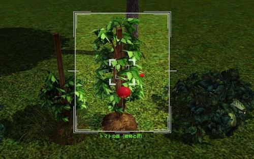 camera_Tomato Plant