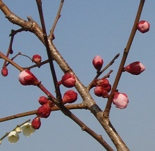 2013-03-05 『豊後』もうすぐ開花