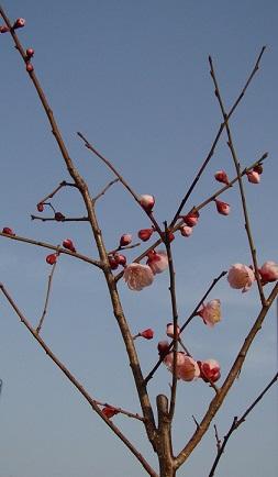 2013-03-07 『豊後』開花②2