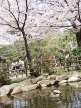 2013-03-30 桜に恋する亀