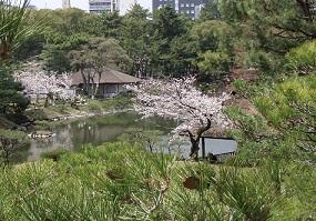 2013-03-30 松と桜