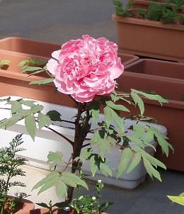 2013-05-09 牡丹