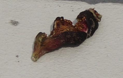 2013-05-25 イチジクの残骸