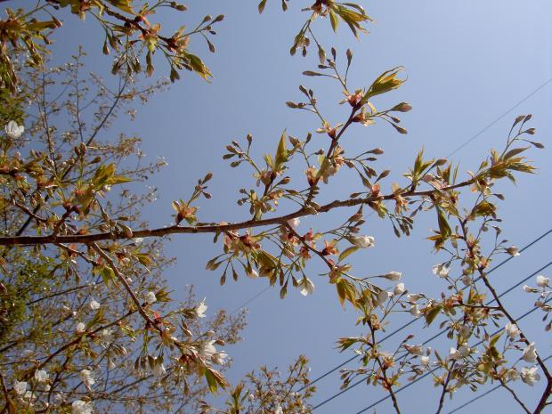 ヤマザクラはまだ3分咲き