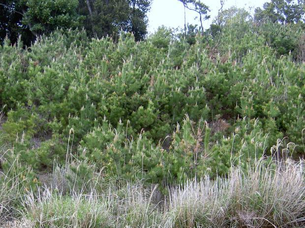 陽樹のクロマツの幼木林が出来て、ススキが消滅していく