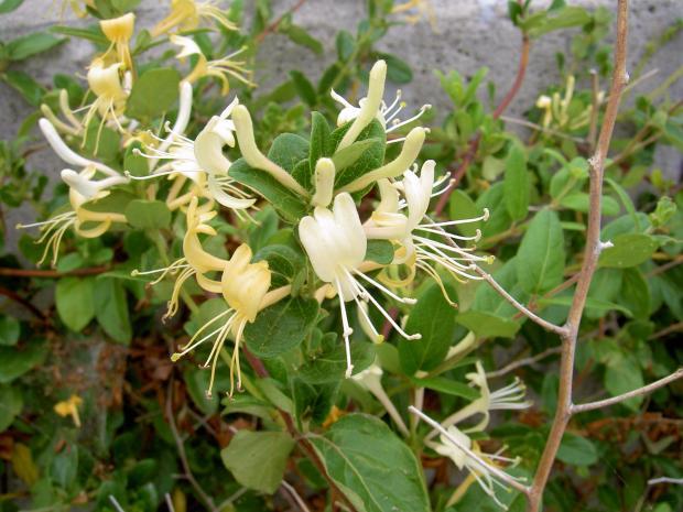 スイカズラの花は金銀花