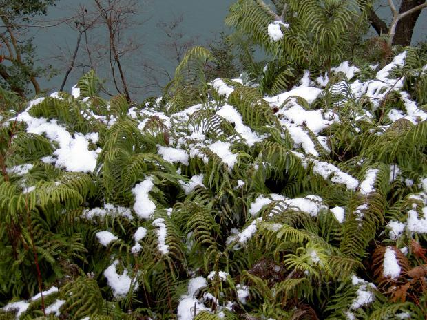ウラジロの上に積もる雪