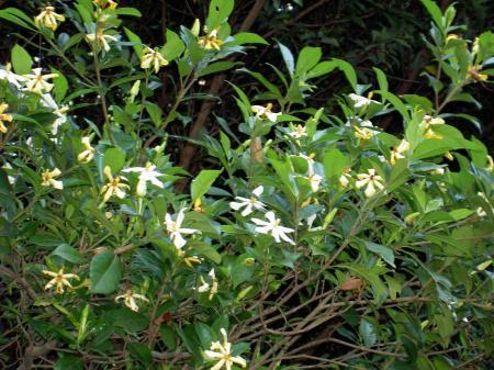 クチナシも黄花と白花がある