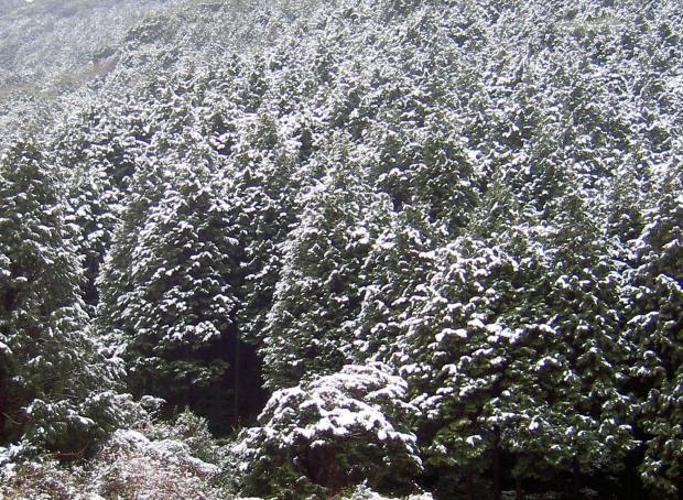 ヒノキの植林に積もる雪