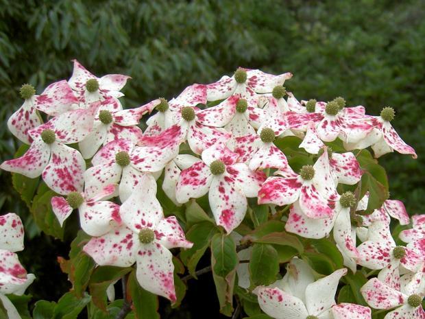 ベニヤマボウシの花