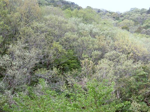 陽樹のコナラとクヌギによる二次林が成立した