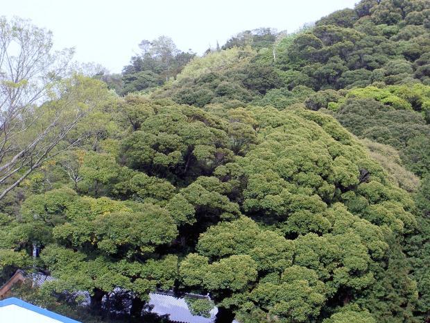 陰樹のシイが優占する極相林