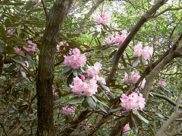 照葉樹林の中で咲くホンジャクナゲ